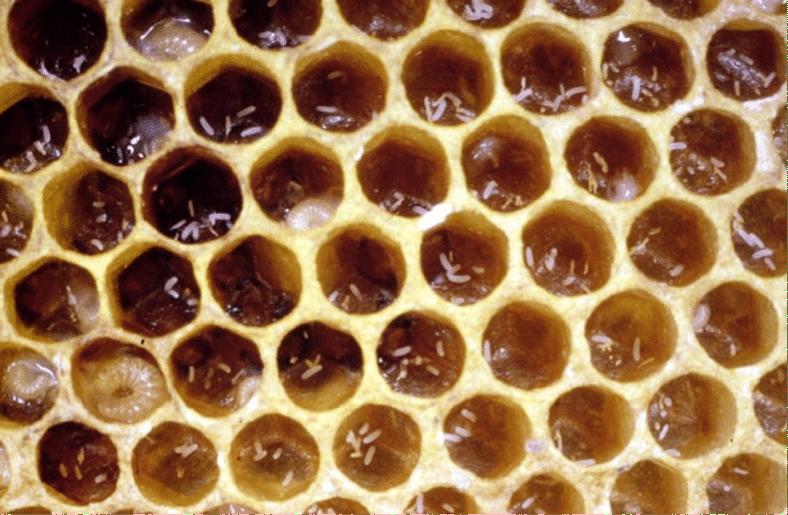 huevos colmena zanganera