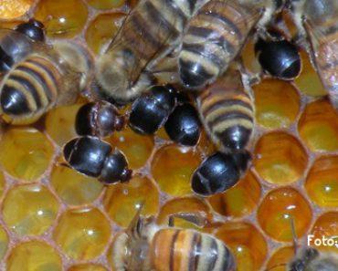 Aethina tumida: El escarabajo de la colmena
