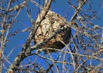 nido de avispon asiatico