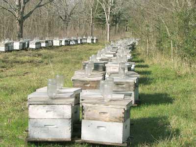 alimentado abejas