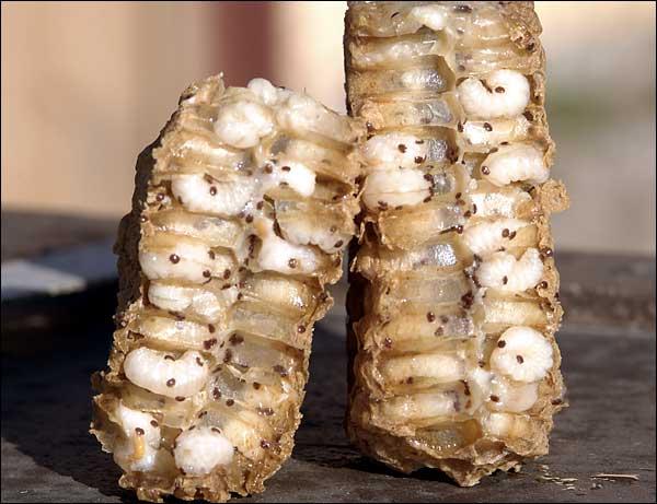 El oxálico no mata la varroa que hay en la cría. Solo es eficaz contra la forética.