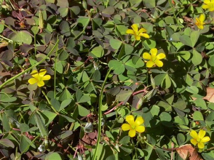 oxalis-plant