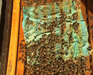 Tratar la varroa con ácido oxálico y glicerina
