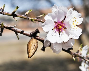 Miel de Almendro:  Gusto, aroma, color y todas sus características.