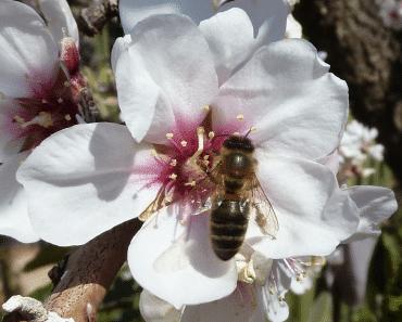 Floraciones apícolas de Primavera Temprana