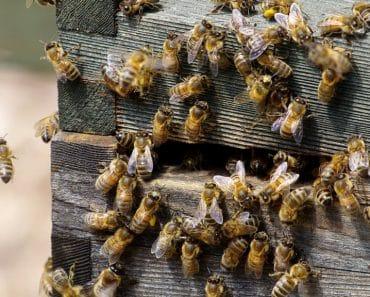La Deriva en las abejas: Por qué se produce y sus posibles soluciones
