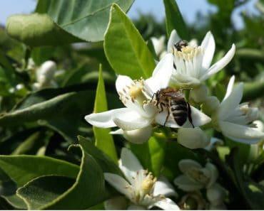 Floraciones apícolas de cosecha de miel de primavera
