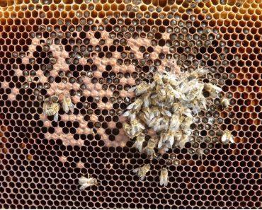 Malnutrición y hambre de las colmenas: Como detectarlo y solucionarlo